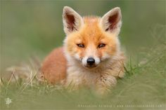 """Soft Fox - <a href=""""http://www.roeselienraimond.com"""">roeselienraimond.com</a>   <a href=""""http://roeselienraimond.com/blog"""">Blog</a>   <a href=""""https://www.facebook.com/RoeselienRaimond?ref=hl"""">Facebook</a> <strong>Soft Fox </strong><em>(Red Fox kit / cub)</em> So while the winter is taking a break, or just went by without even saying goodbey, my thoughts wander off to spring with its nice sunny days and cute baby animals, like young fox cubs/ kits....they are so cuuuuute ;)"""