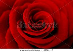 A Close Up Macro Shot Of A Red Rose Stock Photo 166501112 : Shutterstock