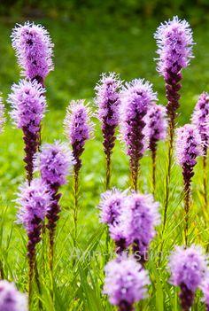 Ann-Kristina Al-Zalimi, Liatris spicata, flora, flower, perenna, garden, puutarha, punatähkä, rosenstav, blazing star