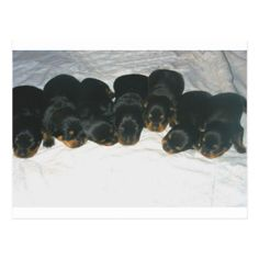 #Rottweiler Puppies Postcard - #rottweiler #puppy #rottweilers #dog #dogs #pet #pets #cute