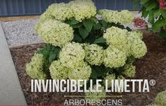 Peonies And Hydrangeas, Plant Species, Lettuce, Cauliflower, Herbs, Vegetables, Garden, Plants, Food