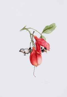 Jessica Tcherepnine (b.1938) - Botanical studies of Queen Protea and Ackee,2 watercolours, both signed in pencil lower right, dated 1983 and...