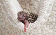 Textile scientists now using baby hedgehogs to test softness of new towel fabrics.