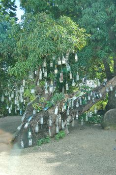 Bottle Tree, St. Kitts