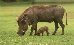 Warthog. When I was little my Uncle used to tell me and my 2 sisters that he was a warthog.
