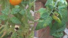 Tomato Leaf Problems: A Visual Guide Spider mite damage to tomato leaves Pruning Tomato Plants, Tomato Growers, Tomato Seedlings, Growing Tomatoes From Seed, Growing Tomatoes In Containers, Growing Vegetables, Grow Tomatoes, Dried Tomatoes, Cherry Tomatoes
