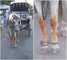 fotografias de caballos de carga o tiro en pleno trabajo - Buscar con Google