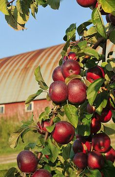 ~Apple Time at the Farm~ country living Country Farm, Country Life, Country Living, Usa Country, American Country, Country Roads, Apple Farm, Apple Orchard, Apple Tree