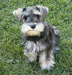 Snorkie (Schnauzer-Yorkie mix) Info, Temperament, Puppies, Pictures
