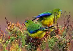 Orange-bellied Parrot  http://www.birdlife.org.au/bird-profile/orange-bellied-parrot