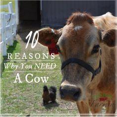 10 Reasons Why You Need a Cow | Homesteading | livinlovinfarmin