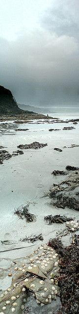 the tenacity of limpets