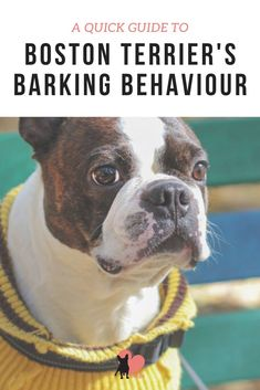 How Much Barking to Expect from Boston Terriers #bostonterrier #bostonterrierpuppy #bostonterrierbarking #bostonterrierbehaviour #bostonterrierpersonality #bostonterriertemperament #bostonterrierlove #bostonterrierowner #owningabostonterrier #dogbehaviour #dogmom #dogowner #dogtemperament #dogbarking