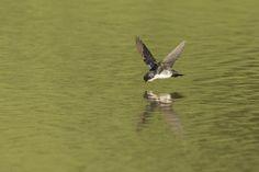 White-rumped Swallow (Andorinha-de-sobre-branco).