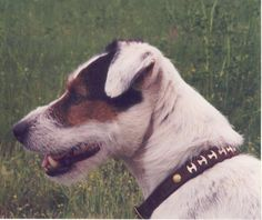 Glynnsong Buddy of Troon Quarry. My first Terrier and the smartest dog I have ever known.