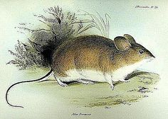 indefatigable galapagos mouse