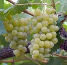 06 - AIREN. Cepa española de color blanco característico. De porte rastrero, con hojas orbiculares de textura fina, senos laterales profundos y pecíolos en forma de lira, produce racimos cónicos de uvas grandes doradas y redondas. Algunos dicen que es la uva más abundante del mundo. Produce vinos neutros de buena relación calidad-precio, algunos vinos airen son exquisitos de aromas afrutados y acidez media. También se producen con esta uva muy buenos vinos rosados.