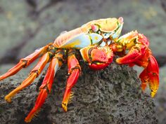 Galapagos Island Wildlife - Sally lightfoot crabs