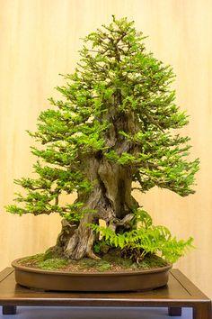 Coast redwood bonsaï