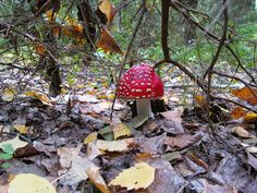 "Russian mushrooms: Red fly agaric ""Amanita muscaria"""