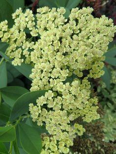 'Anblo') (Achillea x hybrida) Achillea Millefolium, Annual Plants, Plant Care, Perennials, Planting Flowers, Flora, Herbs, Green, Garden Ideas