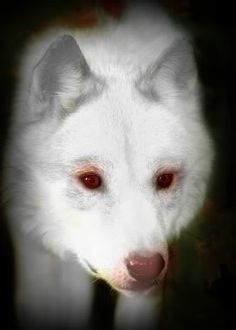 albino wolf | Albino Wolf photo hamblin-mark-timber-wolf-close-up-portrait-in-autumn ...
