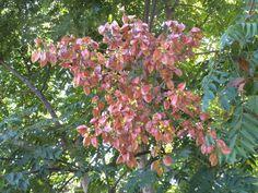 Image detail for -Tuesday Tree – Chinese Flame Tree (Koelreuteria bipinnata)