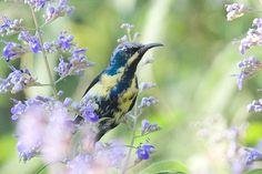 Cinnyris asiaticus - Purple Sunbird