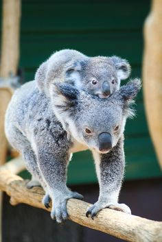 musts: Koala and Baby by derdos