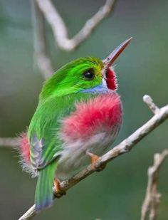 Cuban humming bird