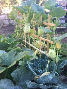 Grow sprawling or vine varieties for vertical vegetable gardening.