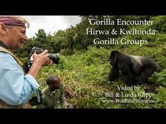 """""""Linda's Mountain Gorilla Encounter"""" -- Video by Bill & Linda Klipp --www. Mountain Gorilla, Volcano National Park, Roosters, Blessings, Blessed, Mens Sunglasses, Peace, Youtube, Rooster"""