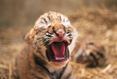 Yawning baby tiger