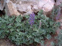 Lupinus formosa, Summer Lupine