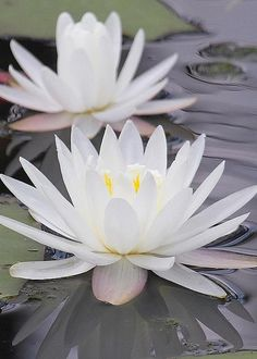 Water Lilies by Cathy Lindsey