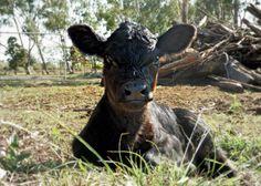 Our seriously cute mini calf, Cleopatra    www.chantillefleur.blogspot.com