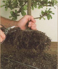 Podar las raíces de un bonsai durante el trasplante