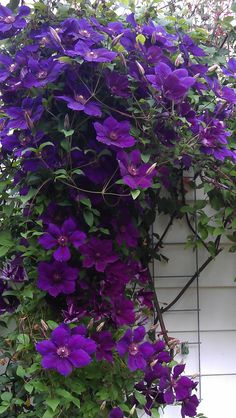 Predictors of Weight Loss and Weight-Loss Maintenance Cascade of Clematis Gipsy QueenCascade of Clematis Gipsy Queen Evergreen Clematis, White Clematis, Autumn Clematis, Purple Clematis, Clematis Flower, Flowering Vines, Clematis Care, Clematis Trellis, Gardens
