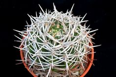 G. castellanosii ssp ferocior
