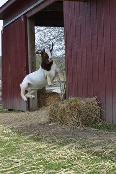 #goatvet loves this photo of a rescue goat now in good condition & jumping for joy