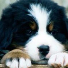 My dream pup is a Berner