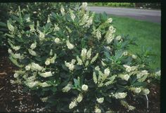 Shrubs for Seasonal Interest, Attracting Birds and All Around Beauty: Summersweet (Clethra alnifolia)