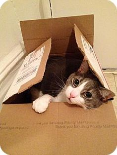 HILLSBORO, OR - Domestic Mediumhair. Meet O.B.O. LALO sweet and mellow, a cat for adoption. http://www.adoptapet.com/pet/15868245-hillsboro-oregon-cat