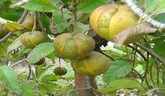 FiL Elması