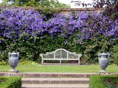 Clematis in the garden - planting, maintenance and hibernation Clematis