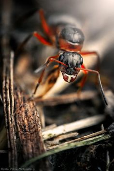 Ant by Kristian Potoma on 500px