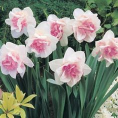 Pink Daffodil - Narcissus Replete