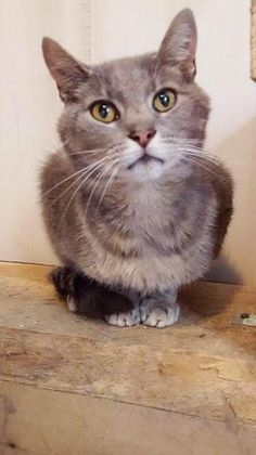 ADOPTED ♡   (12/4/15)  Crowley • Tabby • Adult • Male • Medium • Fairmont, WV • Marion County Humane Society: Crowley  loves a few earrubs and backscratches here and there.  He will do best in a home with an adult cat or no cat at all, as he is dominant towards younger cats.