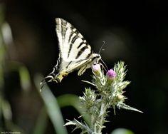 Πεταλούδα Iphiclides podalirius - Salonika Snapshots