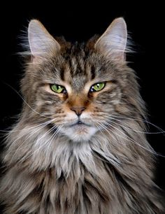 El Señor Gato http://www.mainecoonguide.com/where-to-find-maine-coon-kittens-for-sale/